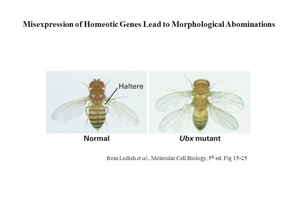 Misexpression of Homeotic Genes Lead to Morphological Abominations from Lodish et al., Molecular Cell Biology, 5 th ed. Fig 15-25