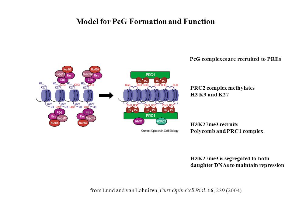 Model for PcG Formation and Function from Lund and van Lohuizen, Curr.Opin.Cell Biol. 16, 239 (2004) PRC2 complex methylates H3 K9 and K27 H3K27me3 re