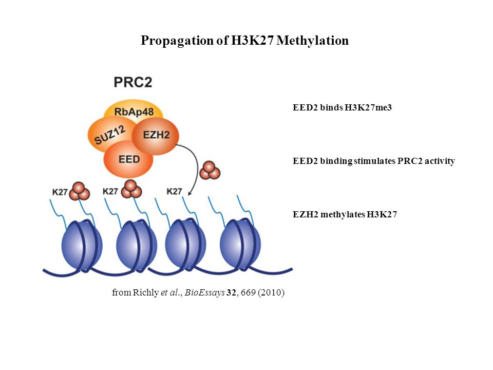 from Richly et al., BioEssays 32, 669 (2010) Propagation of H3K27 Methylation EED2 binds H3K27me3 EED2 binding stimulates PRC2 activity EZH2 methylates H3K27