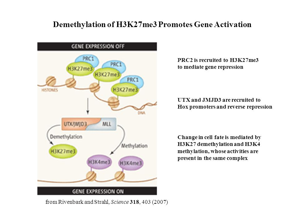 Demethylation of H3K27me3 Promotes Gene Activation PRC2 is recruited to H3K27me3 to mediate gene repression UTX and JMJD3 are recruited to Hox promoters and reverse repression Change in cell fate is mediated by H3K27 demethylation and H3K4 methylation, whose activities are present in the same complex from Rivenbark and Strahl, Science 318, 403 (2007)