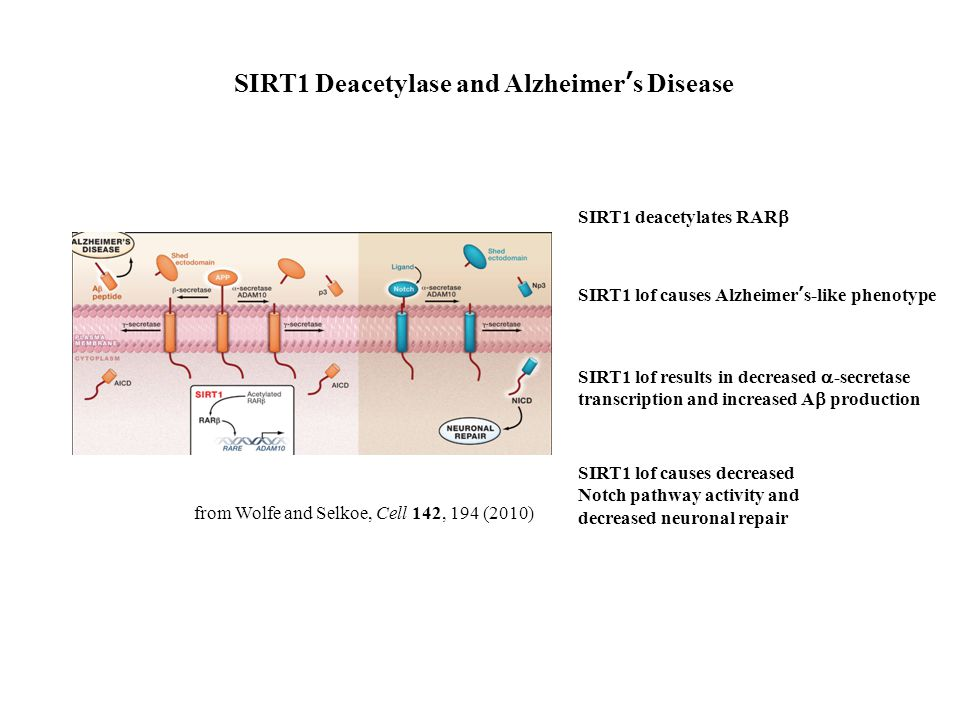 SIRT1 lof causes Alzheimer's-like phenotype SIRT1 deacetylates RAR  SIRT1 lof results in decreased  -secretase transcription and increased A  produ