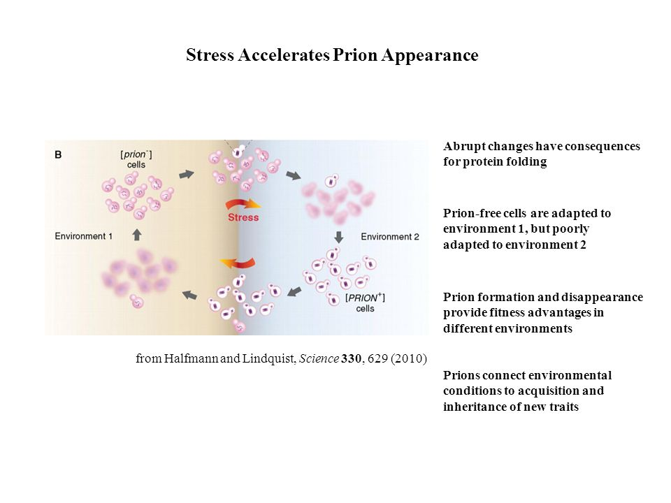 Stress Accelerates Prion Appearance from Halfmann and Lindquist, Science 330, 629 (2010) Prion-free cells are adapted to environment 1, but poorly ada