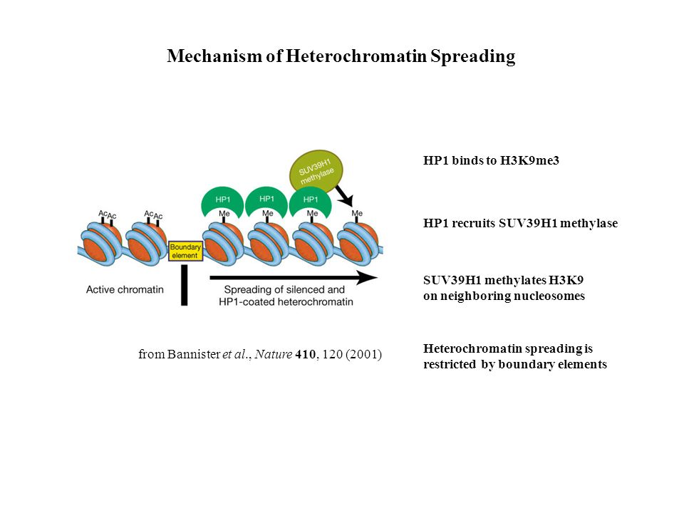 from Bannister et al., Nature 410, 120 (2001) Mechanism of Heterochromatin Spreading HP1 binds to H3K9me3 HP1 recruits SUV39H1 methylase SUV39H1 methylates H3K9 on neighboring nucleosomes Heterochromatin spreading is restricted by boundary elements