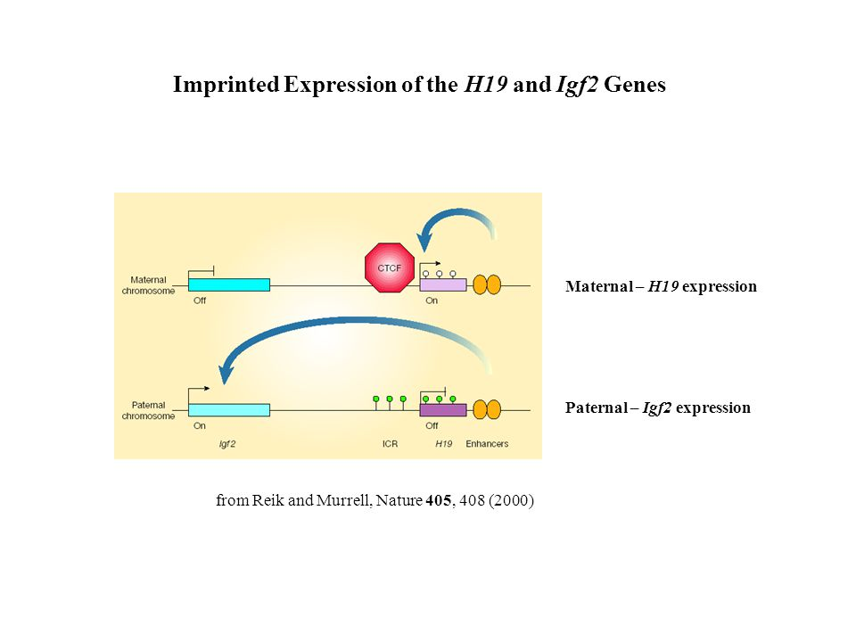 Imprinted Expression of the H19 and Igf2 Genes from Reik and Murrell, Nature 405, 408 (2000) Maternal – H19 expression Paternal – Igf2 expression