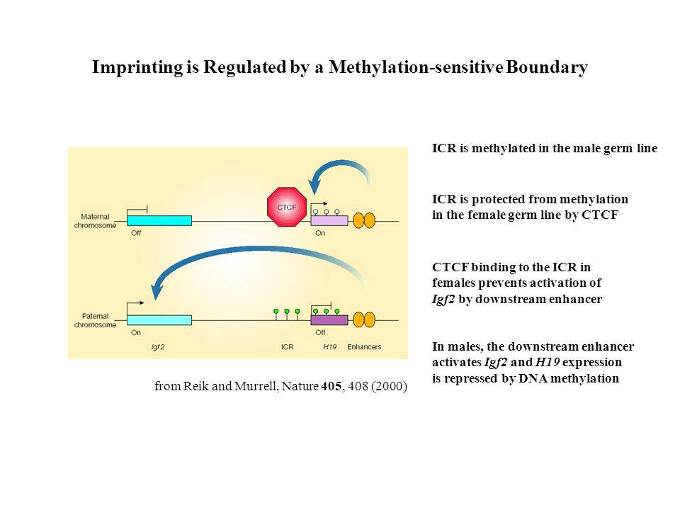 Imprinting is Regulated by a Methylation-sensitive Boundary from Reik and Murrell, Nature 405, 408 (2000) ICR is methylated in the male germ line ICR is protected from methylation in the female germ line by CTCF CTCF binding to the ICR in females prevents activation of Igf2 by downstream enhancer In males, the downstream enhancer activates Igf2 and H19 expression is repressed by DNA methylation