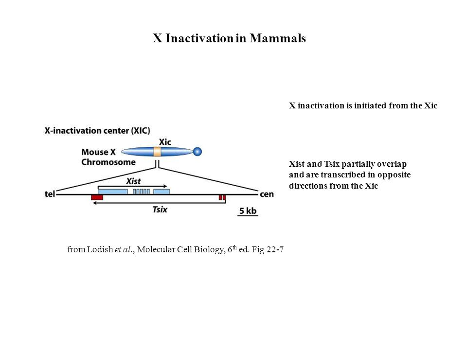 X Inactivation in Mammals X inactivation is initiated from the Xic Xist and Tsix partially overlap and are transcribed in opposite directions from the