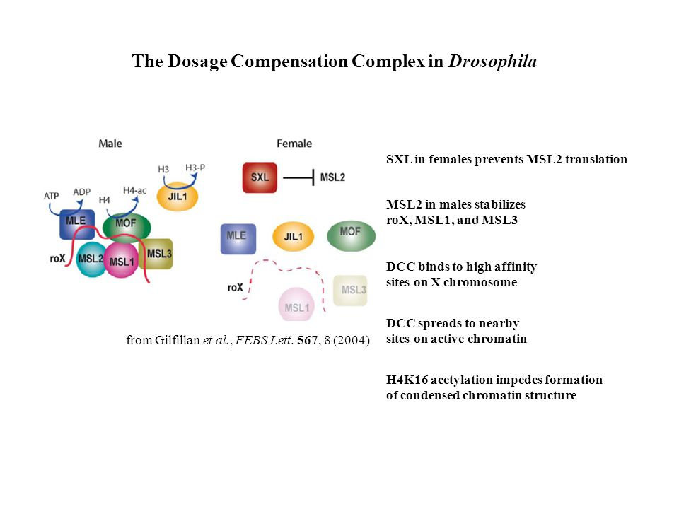 The Dosage Compensation Complex in Drosophila from Gilfillan et al., FEBS Lett. 567, 8 (2004) SXL in females prevents MSL2 translation MSL2 in males s