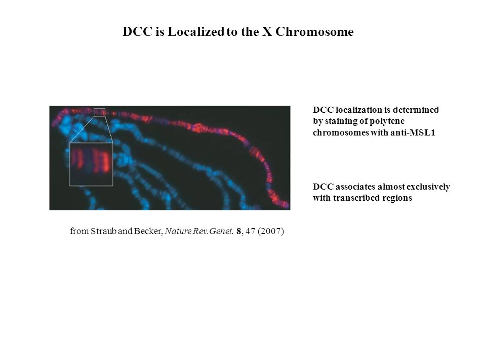 from Straub and Becker, Nature Rev.Genet. 8, 47 (2007) DCC is Localized to the X Chromosome DCC localization is determined by staining of polytene chr