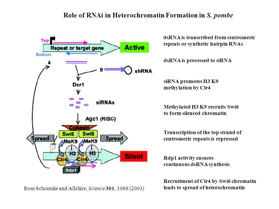 Role of RNAi in Heterochromatin Formation in S. pombe dsRNA is transcribed from centromeric repeats or synthetic hairpin RNAs dsRNA is processed to si