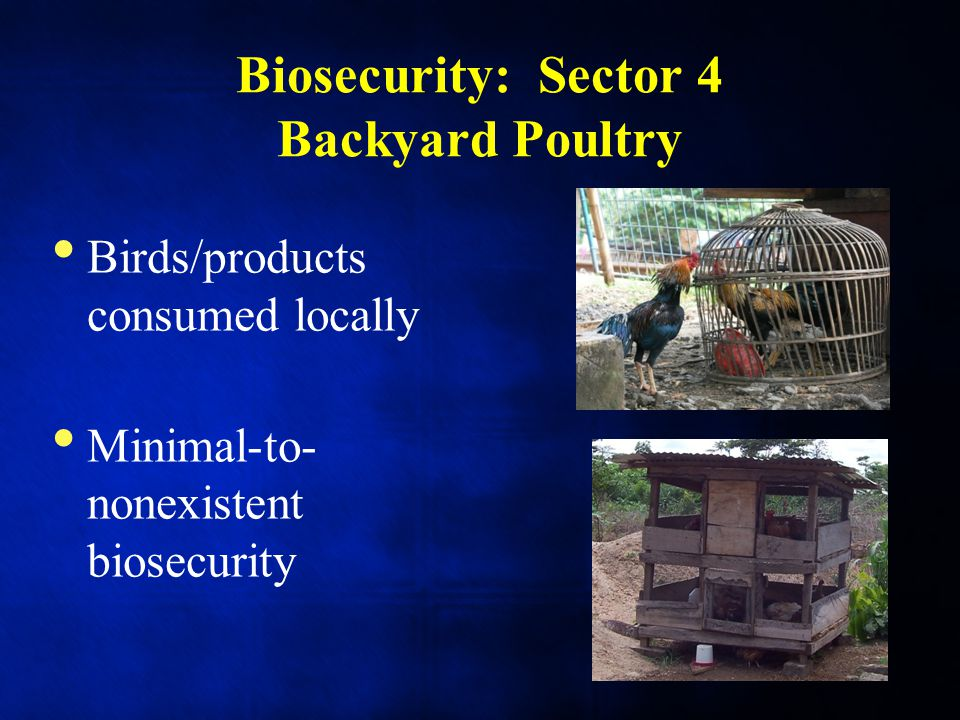 Biosecurity: Sector 4 Backyard Poultry Birds/products consumed locally Minimal-to- nonexistent biosecurity