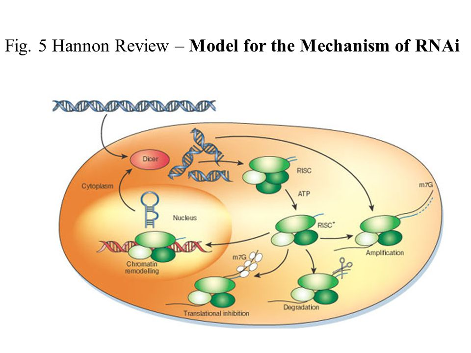 Fig. 5 Hannon Review – Model for the Mechanism of RNAi