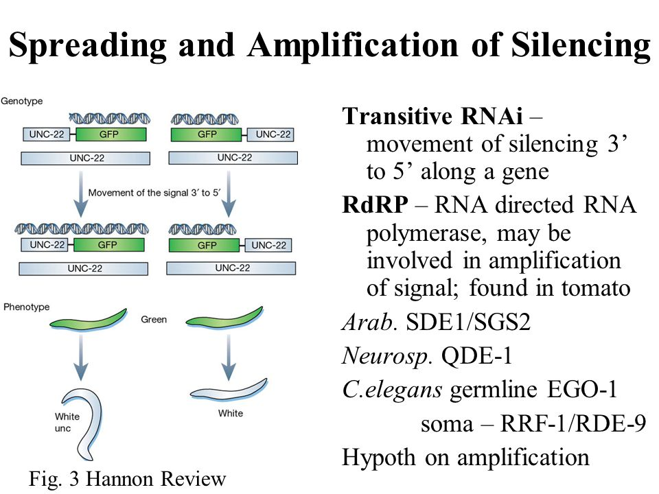 Spreading and Amplification of Silencing Transitive RNAi – movement of silencing 3' to 5' along a gene RdRP – RNA directed RNA polymerase, may be involved in amplification of signal; found in tomato Arab.