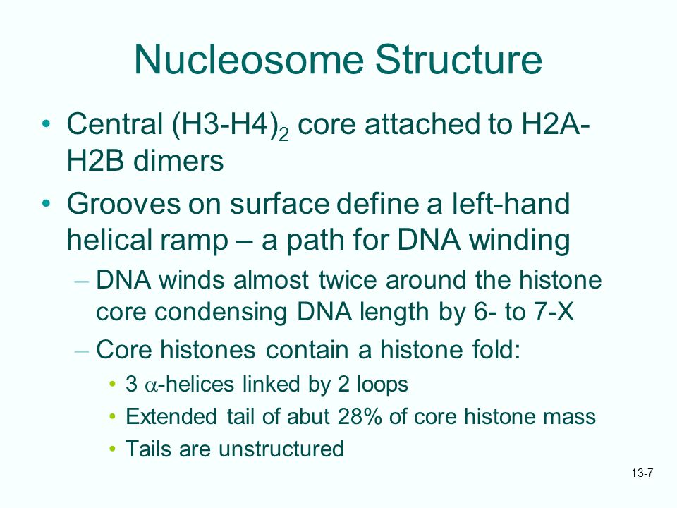 13-8 The 30-nm Fiber Second order of chromatin folding produces a fiber 30 nm in diameter –The string of nucleosomes condenses to form the 30-nm fiber in a solution of increasing ionic strength –This condensation results in another six- to seven-fold condensation of the nucleosome itself Four nucleosomes condensing into the 30- nm fiber form a zig-zag structure