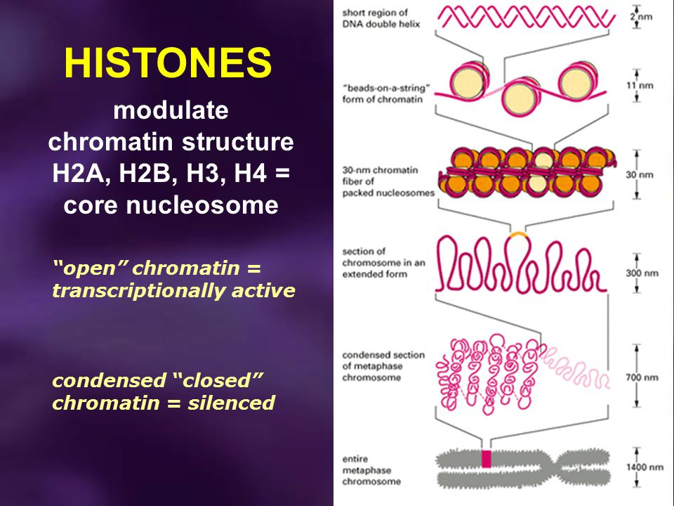 "HISTONES modulate chromatin structure H2A, H2B, H3, H4 = core nucleosome ""open"" chromatin = transcriptionally active condensed ""closed"" chromatin = si"