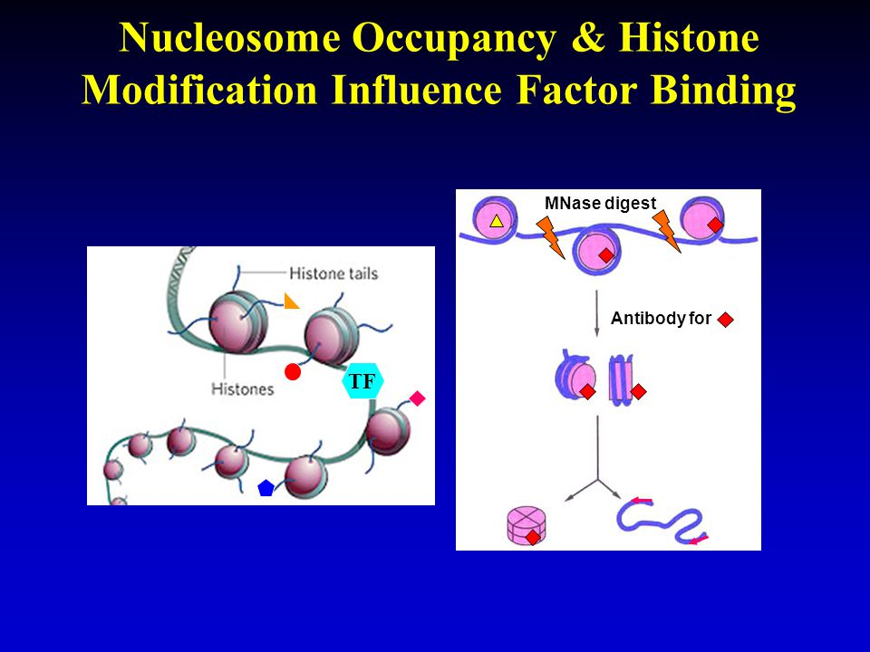 Nucleosome Occupancy & Histone Modification Influence Factor Binding Antibody for MNase digest TF