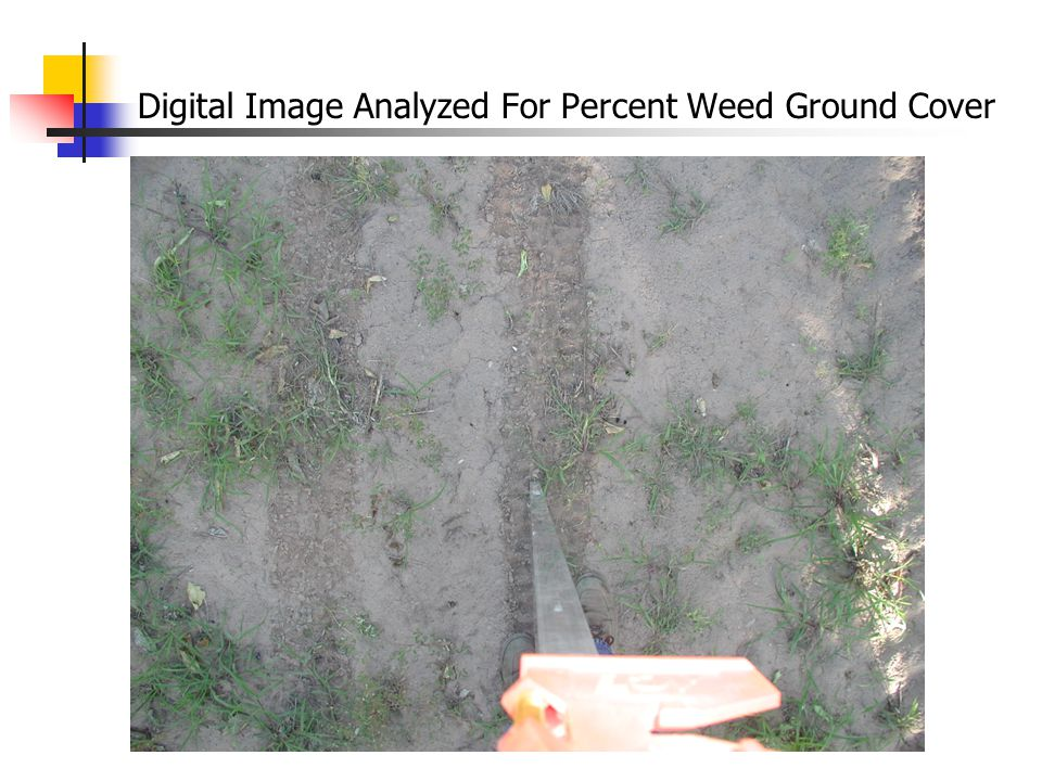 Digital Image Analyzed For Percent Weed Ground Cover