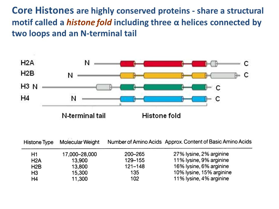 Core Histones are highly conserved proteins - share a structural motif called a histone fold including three α helices connected by two loops and an N-terminal tail