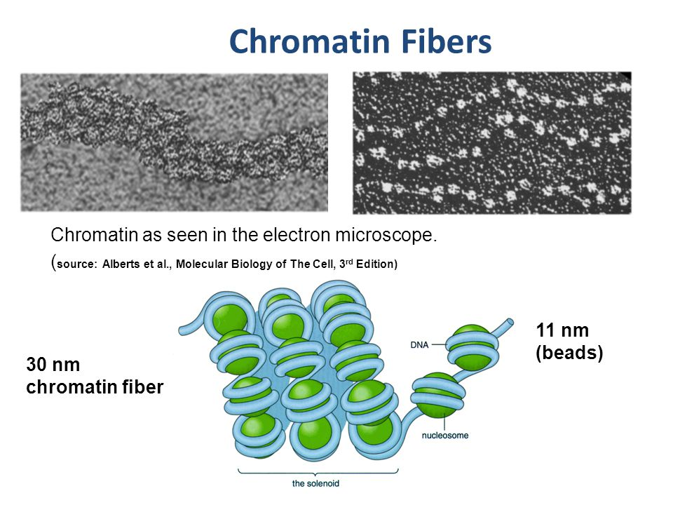 Chromatin Fibers 30 nm chromatin fiber 11 nm (beads) Chromatin as seen in the electron microscope.