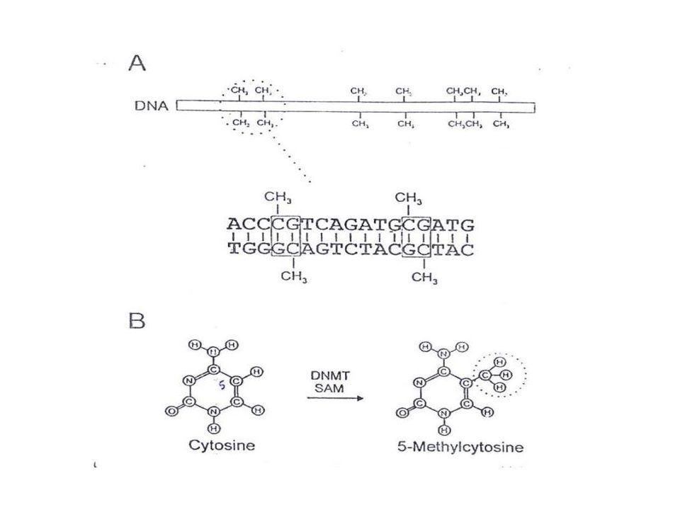 MarkTranscriptionally relevant sitesBiological Role Methylated cytosine (meC) CpG islandsTranscriptional Repression Acetylated lysine (Kac) H3 (9,14,18,56), H4 (5,8,13,16), H2A, H2B Transcriptional Activation Phosphorylated serine/threonine (S/Tph) H3 (3,10,28), H2A, H2BTranscriptional Activation Methylated argine (Rme) H3 (17,23), H4 (3)Transcriptional Activation Methylated lysine (Kme) H3 (4,36,79) H3 (9,27), H4 (20) Transcriptional Activation Transcriptional Repression Ubiquitylated lysine (Kub) H2B (123/120) H2A (119) Transcriptional Activation Transcriptional Repression Sumoylated lysine (Ksu) H2B (6/7), H2A (126)Transcriptional Repression Chromatin modifications