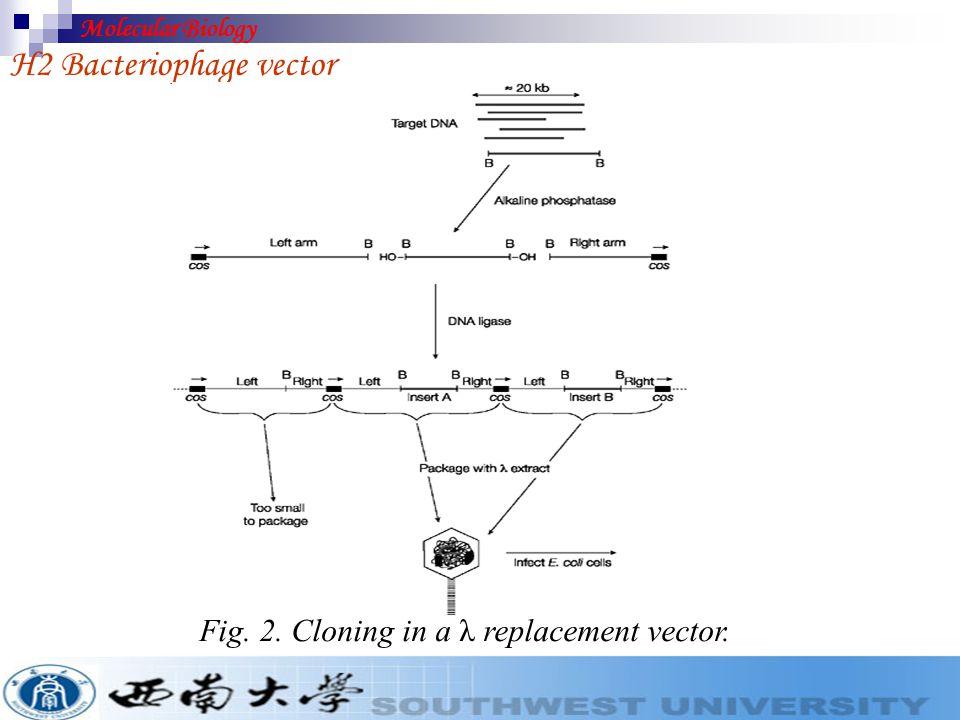 λ replacement vector. Replace the nonessential region of the phage genome with exogenous DNA. high transformation efficiency (1000-time higher than pl