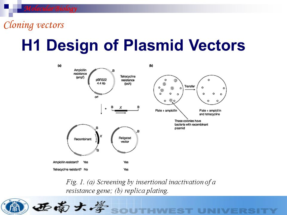 Cloning vectors. DESIGN OF PLASMID VECTORS. BACTERIOPHAGE VECTORS. COSMIDS, YACs AND BACs. EUKARYOTIC VECTORS Content Molecular Biology