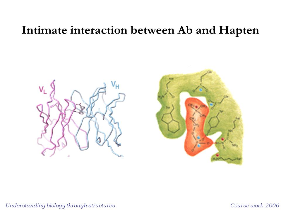 Understanding biology through structuresCourse work 2006 Intimate interaction between Ab and Hapten