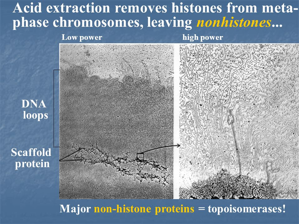 Acid extraction removes histones from meta- phase chromosomes, leaving nonhistones...