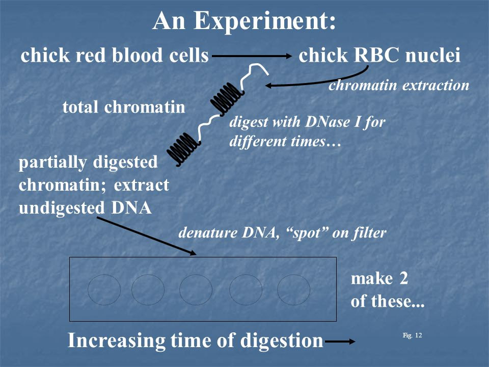 An Experiment: chick red blood cellschick RBC nuclei chromatin extraction total chromatin digest with DNase I for different times… partially digested chromatin; extract undigested DNA denature DNA, spot on filter Increasing time of digestion make 2 of these...