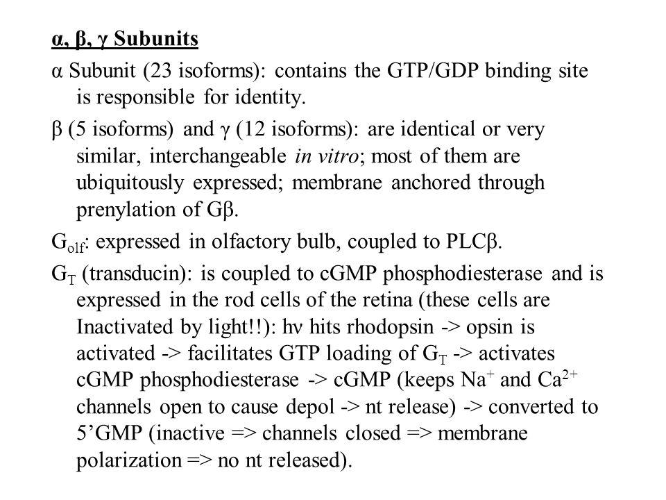 α, β, γ Subunits α Subunit (23 isoforms): contains the GTP/GDP binding site is responsible for identity.
