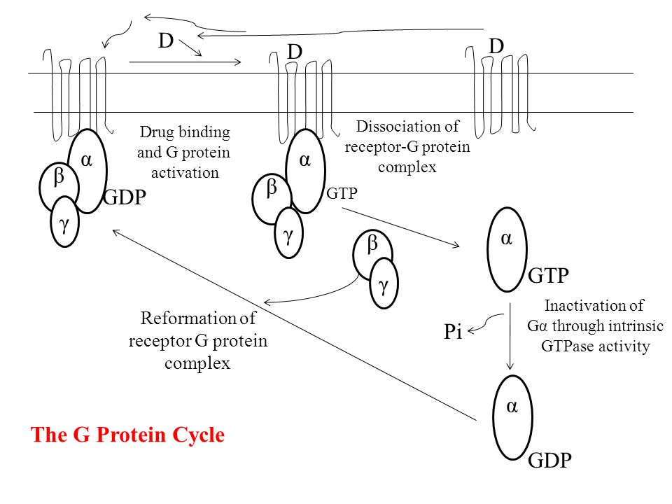 D D α βαβα γ GDP Drug binding and G protein activation α βαβα γ GTP D Dissociation of receptor-G protein complex α βαβα γ GTP Pi α GDP Reformation of receptor G protein complex Inactivation of Gα through intrinsic GTPase activity The G Protein Cycle