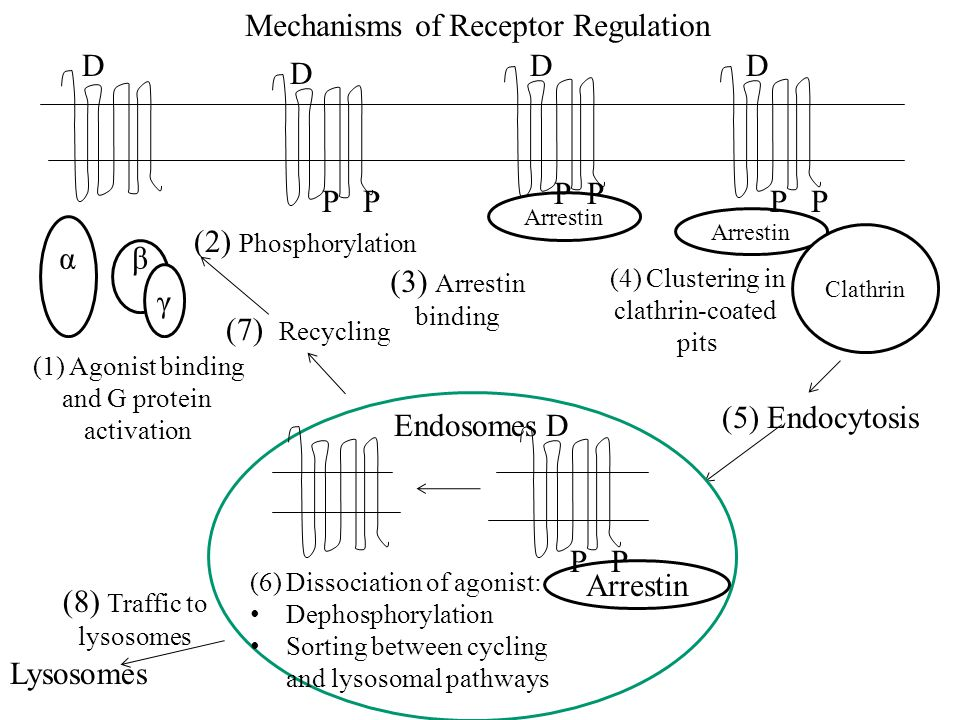 D D DD α βαβα γ (1)Agonist binding and G protein activation (2) Phosphorylation P (3) Arrestin binding Arrestin P Arrestin P Clathrin (4)Clustering in clathrin-coated pits (5) Endocytosis Endosomes Arrestin P D (7) Recycling (6)Dissociation of agonist: Dephosphorylation Sorting between cycling and lysosomal pathways (8) Traffic to lysosomes Lysosomes Mechanisms of Receptor Regulation