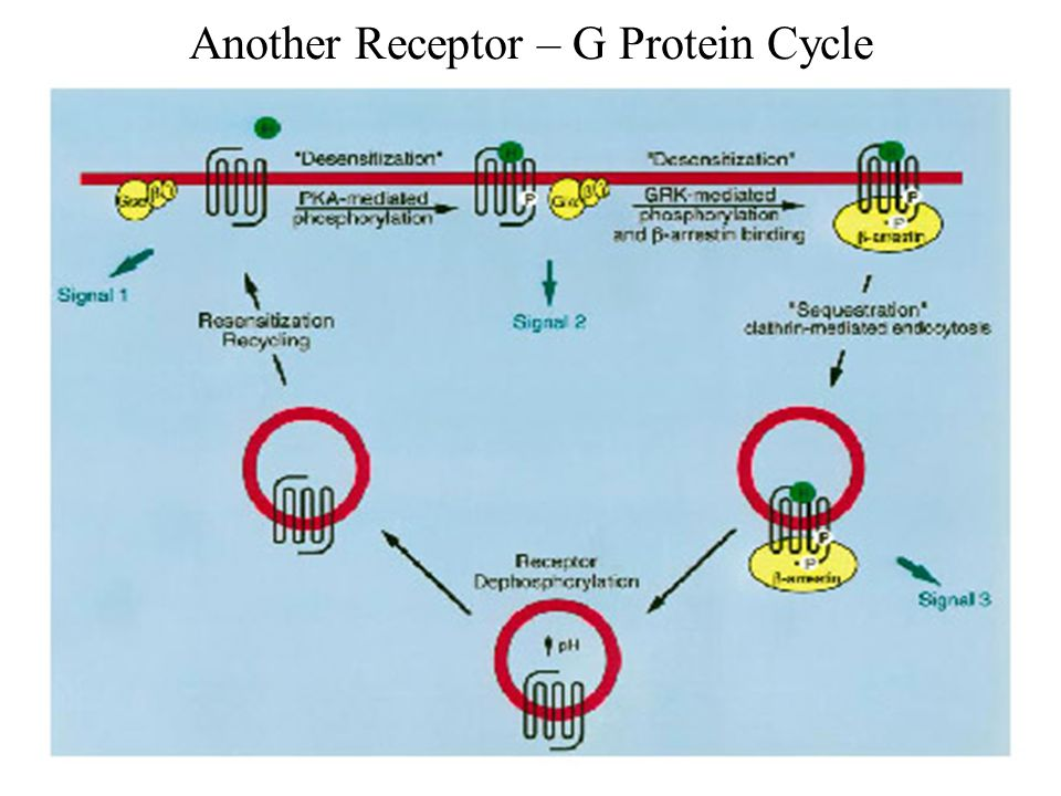 Another Receptor – G Protein Cycle