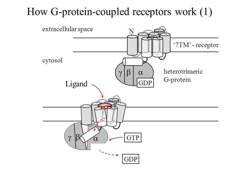  How G-protein-coupled receptors work (1)  extracellular space cytosol   heterotrimeric G-protein '7TM' - receptor GDP N GTP Ligand