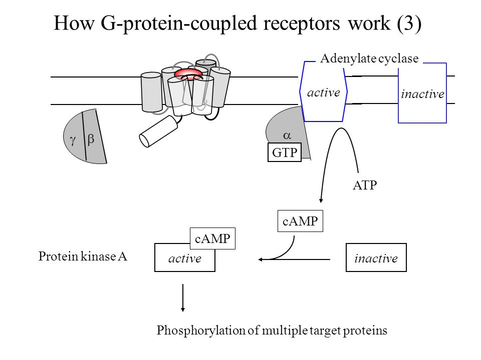 How G-protein-coupled receptors work (3) ATP inactive active cAMP Protein kinase A Phosphorylation of multiple target proteins   GTP active Adenylate cyclase