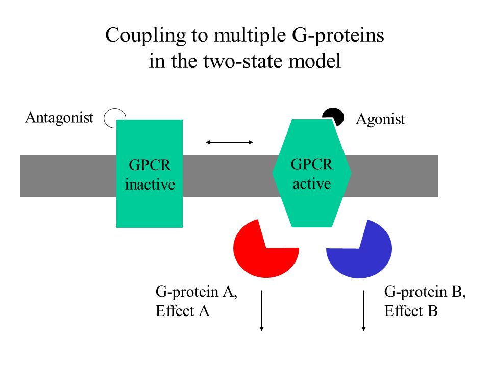 Coupling to multiple G-proteins in the two-state model GPCR active Agonist GPCR inactive Antagonist G-protein A, Effect A G-protein B, Effect B