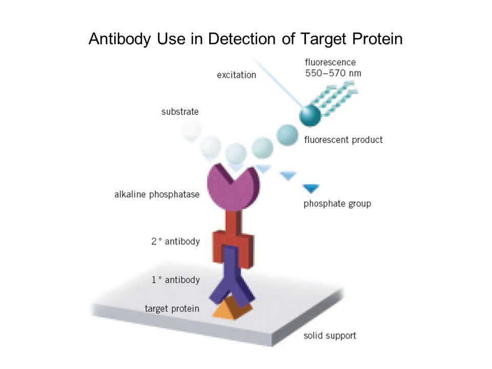 Antibody Use in Detection of Target Protein