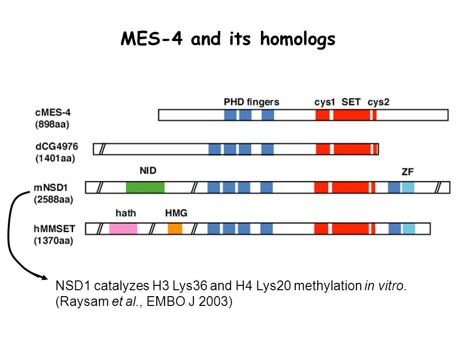 NSD1 catalyzes H3 Lys36 and H4 Lys20 methylation in vitro. (Raysam et al., EMBO J 2003) MES-4 and its homologs