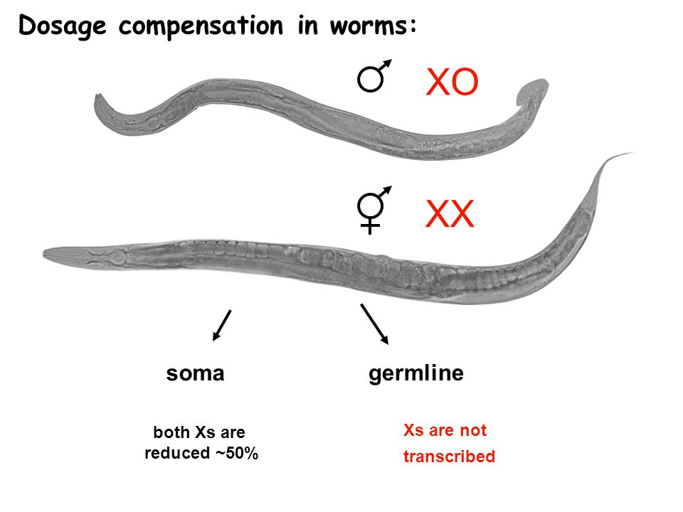 XX XO soma both Xs are reduced ~50% germline Xs are not transcribed Dosage compensation in worms: