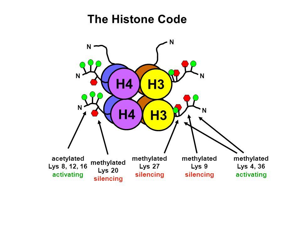 The Histone Code H3 H4 N N H3 N N NN acetylated Lys 8, 12, 16 activating methylated Lys 9 silencing methylated Lys 4, 36 activating methylated Lys 27