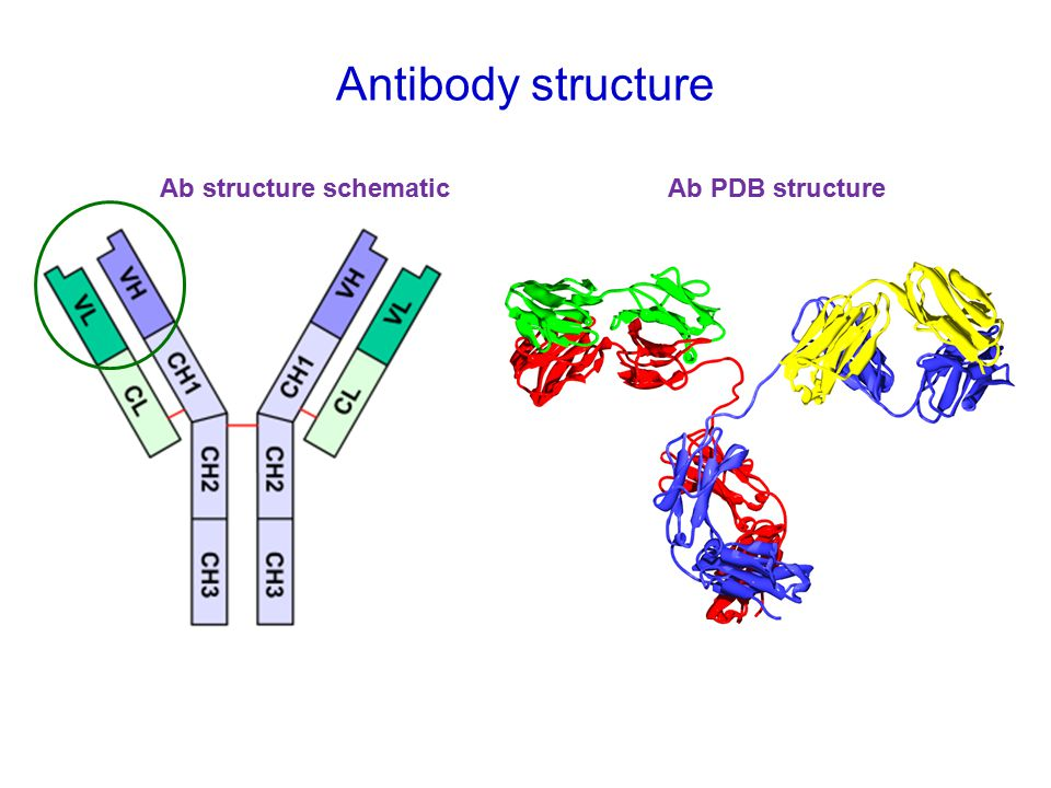 Antibody structure Ab structure schematicAb PDB structure