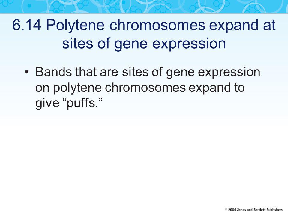 6.14 Polytene chromosomes expand at sites of gene expression Bands that are sites of gene expression on polytene chromosomes expand to give puffs.