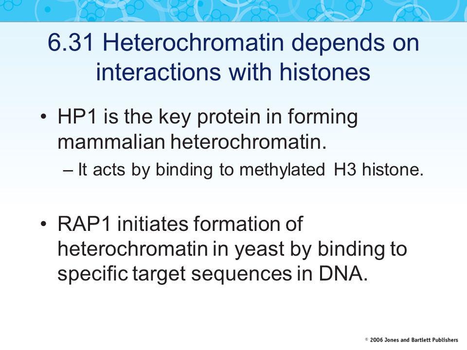 6.31 Heterochromatin depends on interactions with histones HP1 is the key protein in forming mammalian heterochromatin.