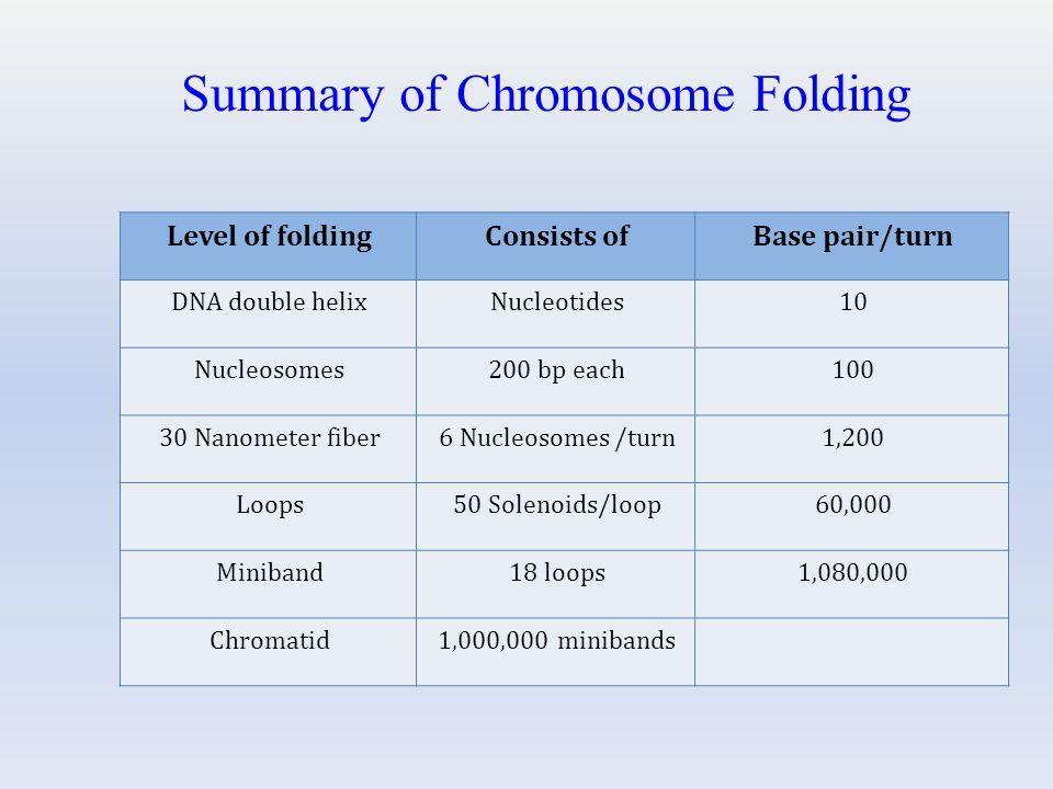 Level of foldingConsists ofBase pair/turn DNA double helixNucleotides10 Nucleosomes200 bp each100 30 Nanometer fiber6 Nucleosomes /turn1,200 Loops50 Solenoids/loop60,000 Miniband18 loops1,080,000 Chromatid1,000,000 minibands Summary of Chromosome Folding