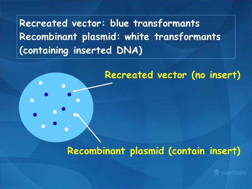 Recreated vector: blue transformants Recombinant plasmid: white transformants (containing inserted DNA) Recreated vector (no insert) Recombinant plasm