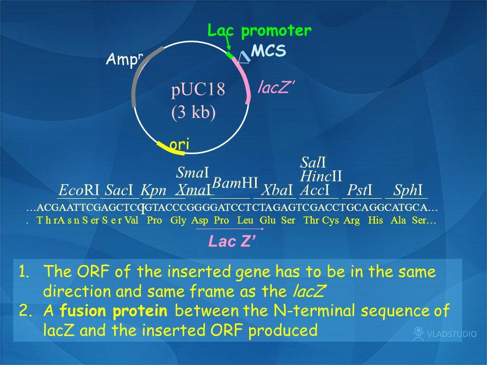 Amp r ori pUC18 (3 kb) MCS Lac promoter lacZ' …ACGAATTCGAGCTCGGTACCCGGGGATCCTCTAGAGTCGACCTGCAGGCATGCA…. T h rA s n S er S e r Val Pro Gly Asp Pro Leu