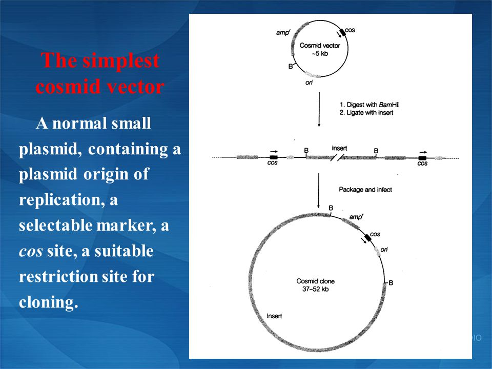 The simplest cosmid vector A normal small plasmid, containing a plasmid origin of replication, a selectable marker, a cos site, a suitable restriction