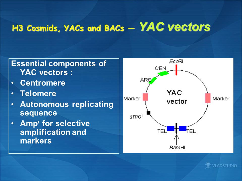 H3 Cosmids, YACs and BACs — YAC vectors Essential components of YAC vectors : Centromere Telomere Autonomous replicating sequence Amp r for selective