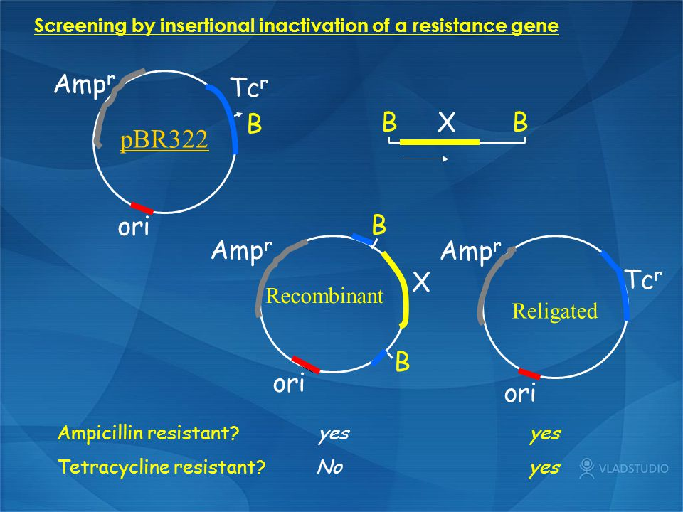 Screening by insertional inactivation of a resistance gene B X B B B X Amp r ori Amp r Tc r ori Amp r Tc r ori pBR322 B Recombinant Religated Ampicill