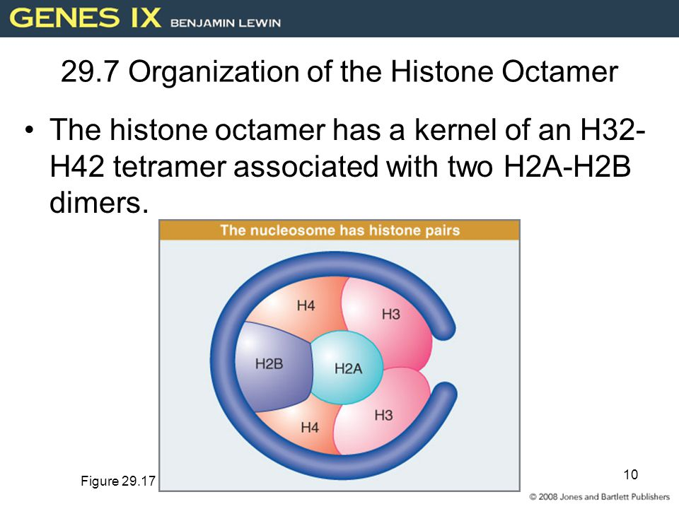 10 29.7 Organization of the Histone Octamer The histone octamer has a kernel of an H32- H42 tetramer associated with two H2A-H2B dimers.