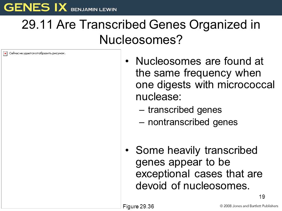 19 29.11 Are Transcribed Genes Organized in Nucleosomes.